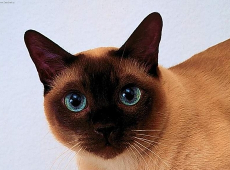фото тайская кошка